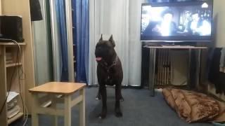 Собака боксер Идол разговаривает