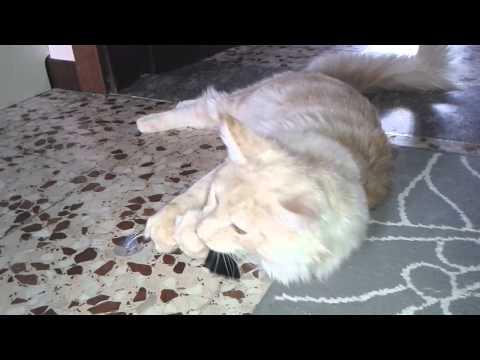 Maine Coon Galileo Kitten 7 months cat