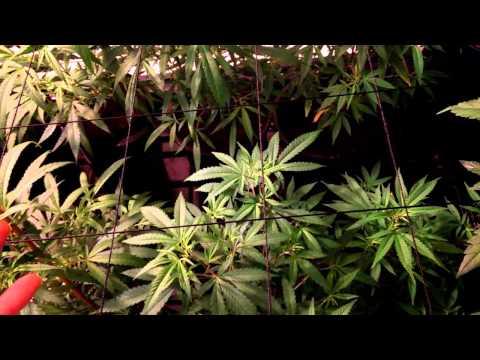 How to correct deficiencies in marijuana