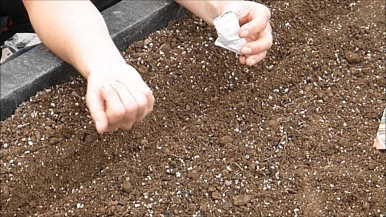 How to grow Carrots from seed - YouTube