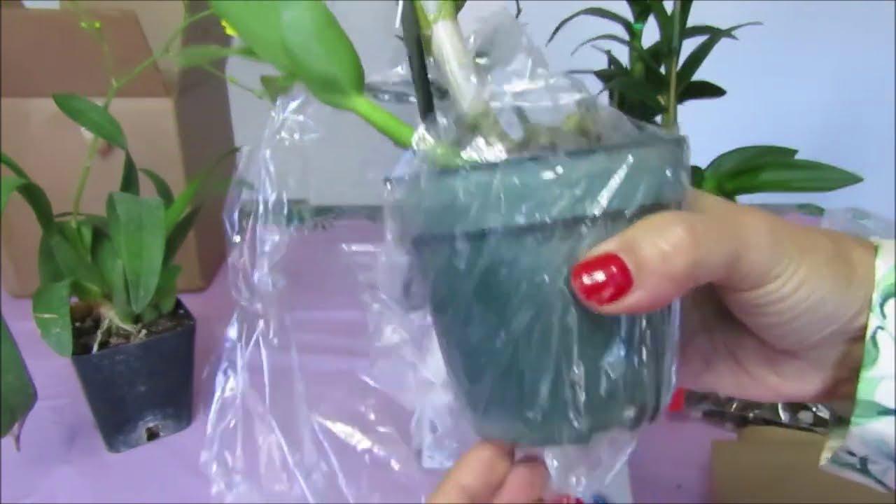 Empacar Orquídeas correctamente para trasportarlas sin peligro Dendrobium Oncydium Episodio 261