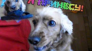 Дрессировка кокер спаниеля ( учим собаку приносить вещи ) | English cocker spaniel