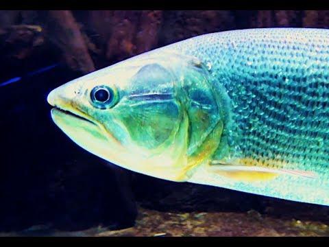 インドヒメジ Bicolor goatfish Parupeneus barberinoides | Doovi