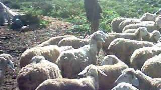 synchronisation des challeurs -bovins - ferme boukhelif