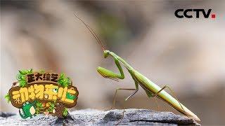 [正大综艺·动物来啦]选择题:螳螂为什么撑起身体?| CCTV