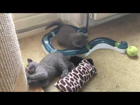Brits korthaar kittens zijn in een speelse bui!