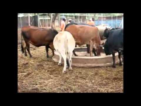 boran 16 cows bulled youtube