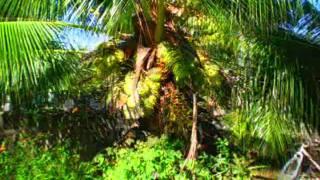 Dwarf Coconut Sale Ramon Adrineda