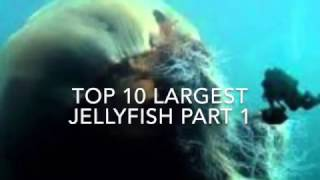 top 10 biggest largest jellyfish types in the world under the sea that can live forever 2017 part 1