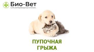 Пупочная грыжа. Ветеринарная клиника Био-Вет.(, 2016-08-08T11:30:11.000Z)