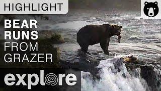 Bear Runs From Grazer - Katmai National Park - Live Cam Highlight