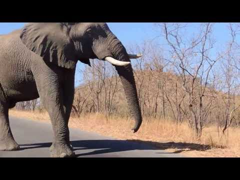 Elephant speaking loud & clear in Kruger Park, South Africa