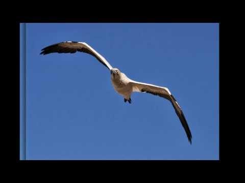 Cape Gannets - Lamberts Bay Western Cape - Photo's by Greg Morgan