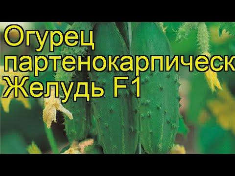 Огурец партенокарпический желудь. Краткий обзор, описание характеристик cucumis sativus