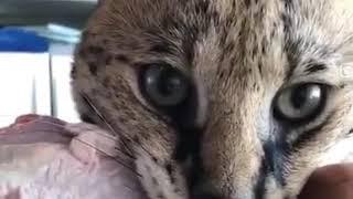 Кошке не нравится веганская еда!