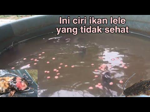 Ciri Ciri Ikan Lele Yang Tidak Sehat Youtube