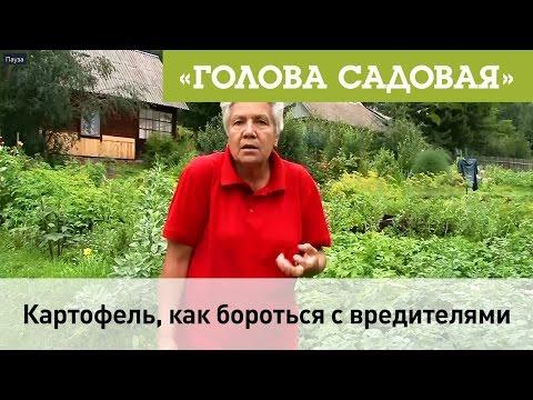 Вопрос: Почему ботва картошки стала голая, без листьев, вредителей не видно?