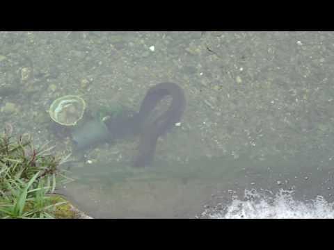 新川のオオウナギ1 -test-