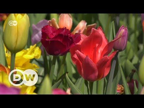 Keukenhof'ta 7 milyon lale çiçek açtı - DW Türkçe