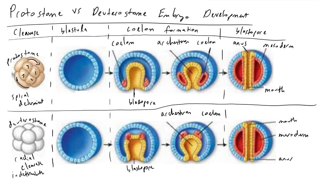 deuterostom vagy protostomia platyhelminthes