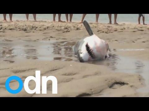 Great White Shark rescued on Massachusetts beach