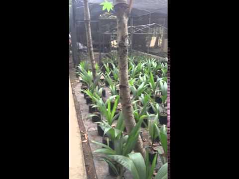 Macapuno coconut nursery in the Philippines