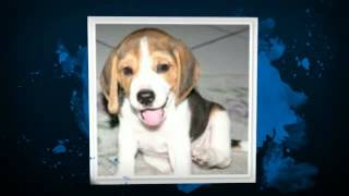 English Foxhound: http://obedient-dog.net/dog-breeds/english-foxhou...