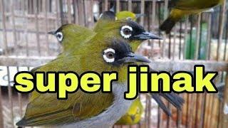 Gambar cover suara burung PLECI kepala hitam super jinak dan gacor