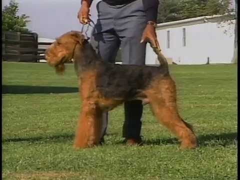 airedale terrier akc dog breed series youtube