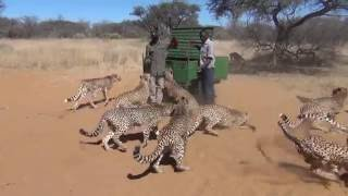 Harnas Cheetah Feeding Frenzy