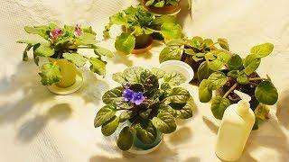 Фиалки Ошибки при выращивании и мои секреты цветения