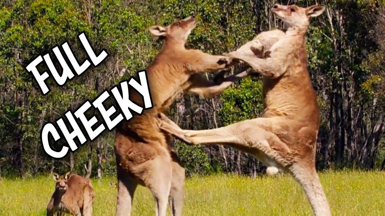 Ozzy Man Reviews: Kangaroos