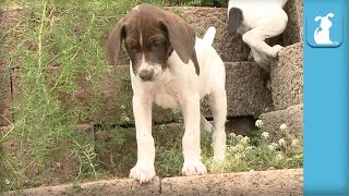Adorable German Shorthair Pointers Love to Climb - Puppy Love