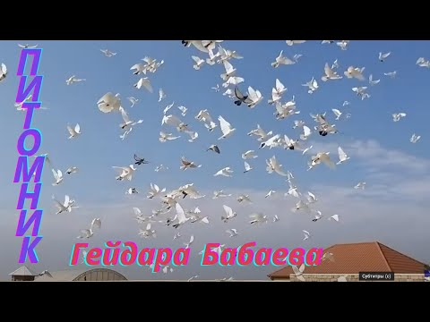 #BAKU #PIGEONS.   Знаменитые Бойные широкохвостые голуби. Питомник  Гейдара Бабаева Баку!  часть-3
