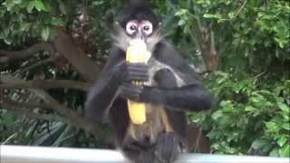 spider monkey eating a banana