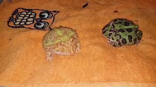 Молодые лягушки-рогатки. Пакман. Кормление, кусания, милота.