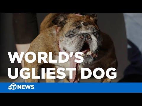 Bulldog named Zsa Zsa wins World's Ugliest Dog contest at Sonoma-Marin Fair