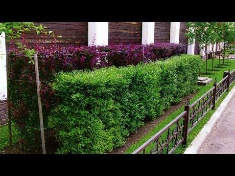 Живая изгородь на даче растения для живой изгороди Дом