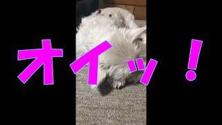 【 West Highland White Terrier 】 実家のウェスティのコロンです。 16...