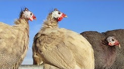 Guineafowl | Organic Tick And Insect Control