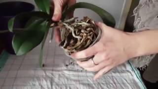 Orchideen Wurzelschnitt radikal leicht gemacht und wirklich schnell Phalaenopsis DiY