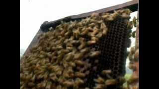 Honey bee keeping on way to Bharatpur, Rajasthan, India - Dr Narotam Dewan