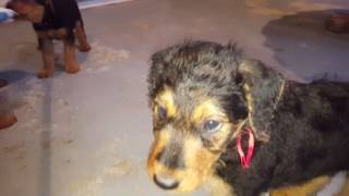Airedale Terrier Puppies Sale Video - S&S Family Airedales,Mr. Yellow, Orange, Red & Gustavo's Girl