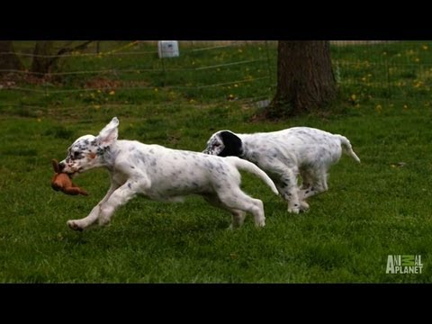English Setter Field Tests | Too Cute!