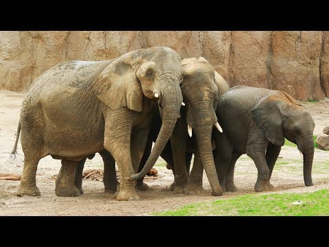 Dallas Zoo Swaziland Elephants Meet and Mingle