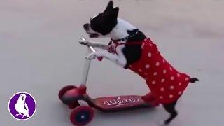Собака и ее мастер класс на самокате. Забавные животные cute animals