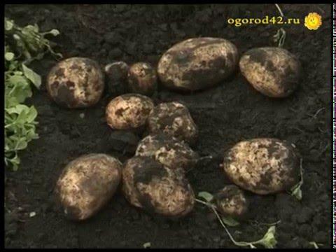 Тонна картофеля с сотки