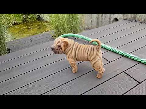 2 Male Sharpei Puppies
