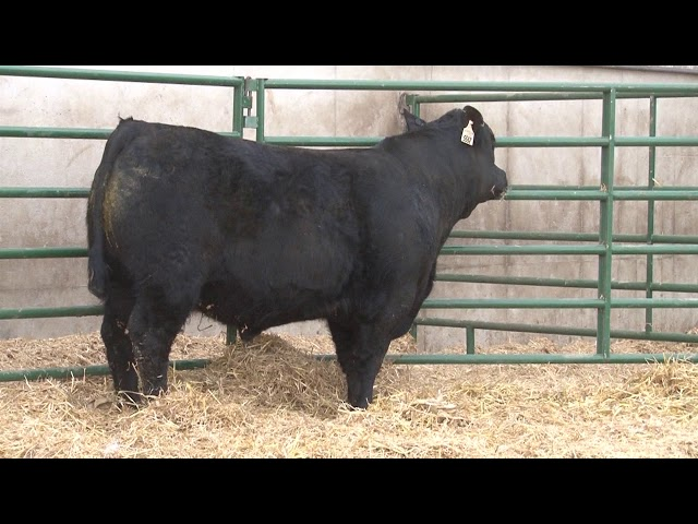 Schiefelbein Angus Farms Lot 357
