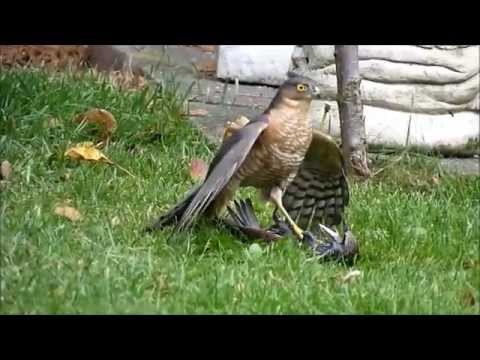sparrowhawk graphically killing a starling. Close up footage.